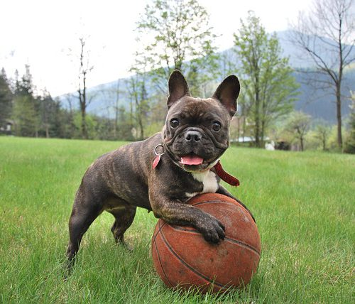 french-bulldog-2365684_640-Ball